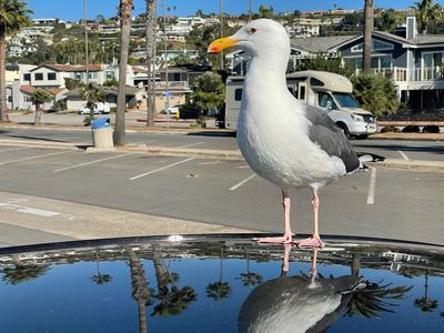 Gull in La Jolla - doesn't have much to do with innovation but I like how brazen the little guy is